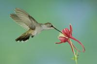 オダマキの花蜜を食べるノドグロハチドリのメス