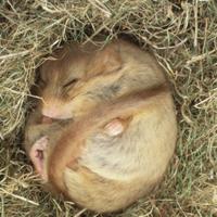 巣で冬眠するヨーロッパヤマネ