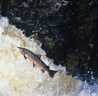 ジャンプして川を上るタイセイヨウサケ
