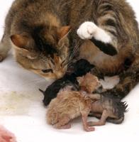 出産のあと胎盤を食べるイエネコ