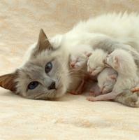 イエネコ(バリニーズ)の母親と生後1日の子