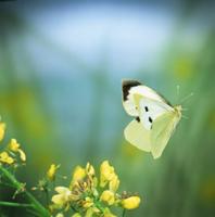 ブロッコリーの花から飛び立つオオモンシロチョウのメス