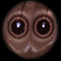 ディディウスモルフォの翅の目玉模様