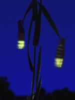 夜、発光するホタルの仲間のメス