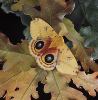 翅の目玉模様を見せるイオメダマヤママユ