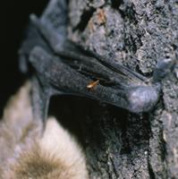コウライクビワコウモリの翼手についたヒトノミの仲間