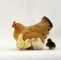 ニワトリの母子(孵化後2日) 'バフ・オーフェントン'