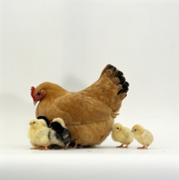 ニワトリの母子(孵化後2日)  'バンタム(チャボ)'