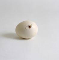 ニワトリ 'バフ・ペキン'の孵化連続 1/9 嘴で卵の殻に穴