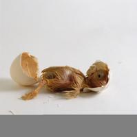 ニワトリ 'バフ・ペキン'の孵化連続 5/9 殻を蹴り外へ出