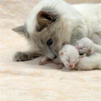 イエネコの母子(生後3日):'バリニーズ'