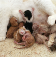 イエネコの出産連続 13/14:まだ濡れている6匹の子に授乳