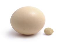 ダチョウの卵とニワトリの卵