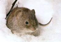 雪の中のヨーロッパヤチネズミ