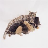 母乳を飲む生後2-3週間のイエネコの子