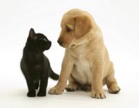 黒いイエネコの子とイヌ(飼い犬)の子 'ラブラドール'