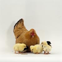 ニワトリのメス親と生後2日のヒナ 'バフ・バンタム'