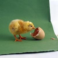 生後一日のニワトリのヒナと卵の殻