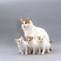 イエネコの母子 'ターキッシュ・バン' 32236003085  写真素材・ストックフォト・画像・イラスト素材 アマナイメージズ