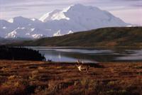 マウントデナリ(マッキンリー山)を背景にツンドラに立つトナカ 32236003143| 写真素材・ストックフォト・画像・イラスト素材|アマナイメージズ