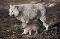 巣穴の近くのタイリクオオカミの親子