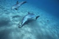 イカを追うハンドウイルカ(バンドウイルカ)の成獣と幼獣