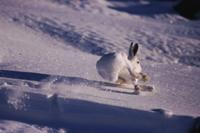 雪の上を走る冬毛のホッキョクノウサギ(ユキウサギ)