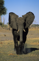 突進するアフリカゾウのオス