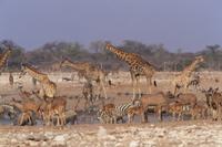 乾季に水たまりに集まった動物たち