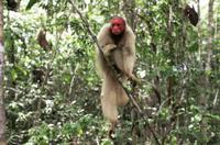 樹上のハゲウアカリ(アカウアカリ)のメス 32236003247| 写真素材・ストックフォト・画像・イラスト素材|アマナイメージズ