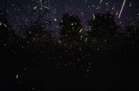 発光するホタルの仲間の光跡