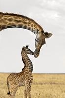 ウガンダキリンの母親と生まれたばかりの赤ちゃん 32236003287  写真素材・ストックフォト・画像・イラスト素材 アマナイメージズ