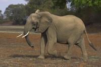 干上がった川床を横切るアフリカゾウ