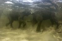 水の中でじゃれるアフリカゾウ