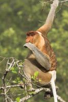 マングローブの葉を食べるテングザルのオス