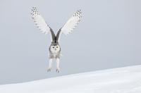 Snowy owl (Nyctea scndiaca) landing in snow. Canada. Winning