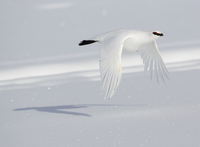 Rock ptarmigan (Lagopus mutus) male flying over snow in wint