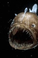 Deep sea Anglerfish female with lure (Melanocoetus johnsoni)