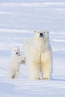 Portrait of Polar bear (Ursus maritimus) sow standing with h