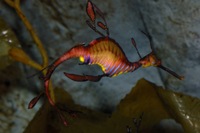 泳ぐウィーディー・シードラゴン 32237000024| 写真素材・ストックフォト・画像・イラスト素材|アマナイメージズ