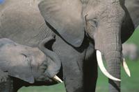 アフリカゾウの親子:授乳