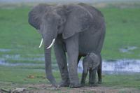 アフリカゾウの親子:生後3時間