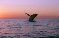 ザトウクジラのブリーチング