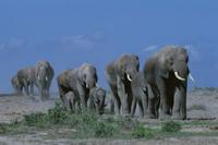 サバンナをゆくアフリカゾウの家族(メスと子の群れ)