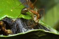 ツムギアリ 糸を紡ぐ幼虫を動かし、巣を修復する働きアリ