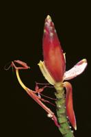 バショウの仲間の花に擬態するカマキリの仲間