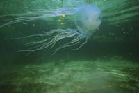マングローブの海を泳ぐ オーストラリアウンバチクラゲ(キロネ