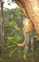 ミルメコディアの仲間(アリノトリデ、アリノスダマ) アリの巣