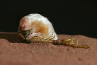 ムカデ類を捕食するフクロモグラ