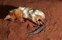 ヤモリの仲間を捕食するフクロモグラ